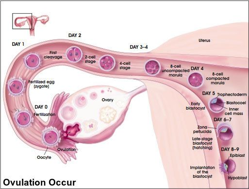 Ovulation Occur